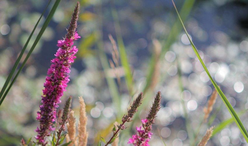 Blume_violett