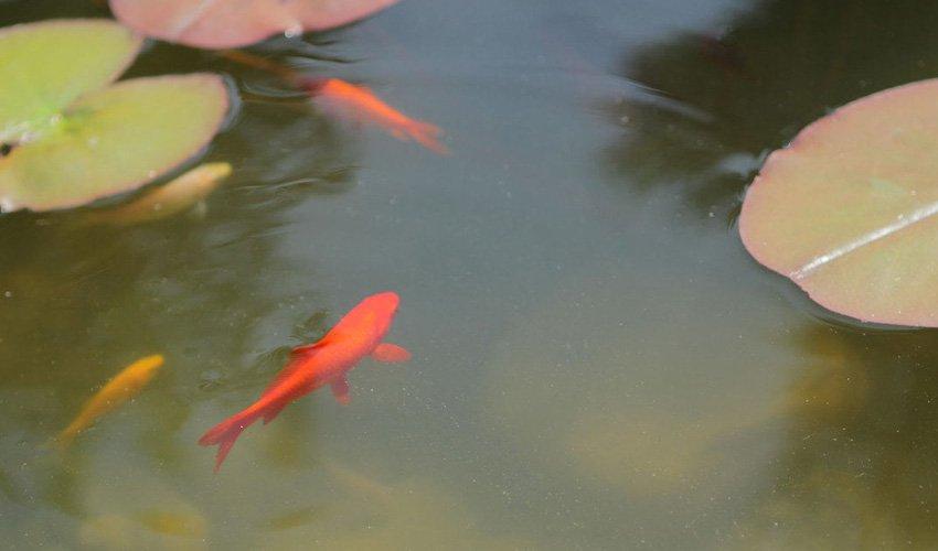 Goldfischteich